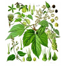 Houblon - Humulus lupulus L. - cône (ménopause, cholestérol, digestion, transit)