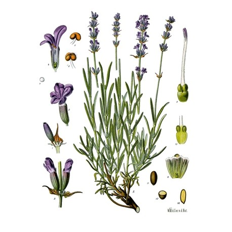 Lavande - Lavandula angustifolia Mill. - fleur (sommeil, nervosité, digestion)