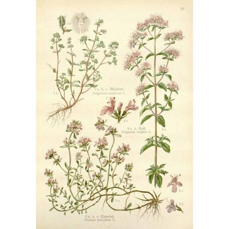 Marjolaine - Origanum majorana L. - feuille (digestion, transit, sucres)