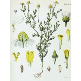 Matricaire camomille allemande - Matricaria chamomilla L. - fleur (toux, sommeil, gaz)