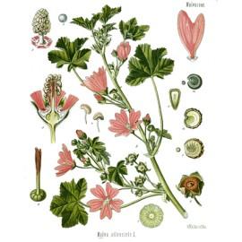 Mauve - Malva sylvestris L. - fleur (transit, gorge, toux)