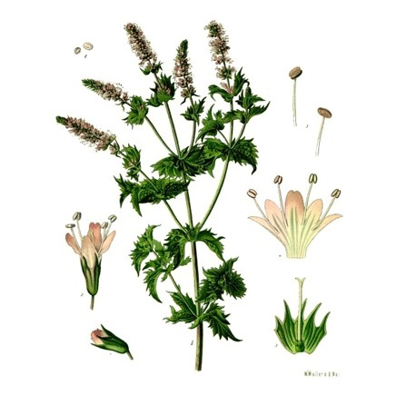 Menthe douce verte nanah - Mentha spicata L. - feuille (digestion)