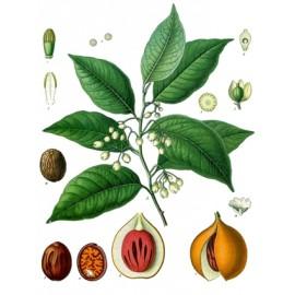 Muscade - Myristica fragrans Houtt. - macis (digestion, intestin, gaz, articulations)