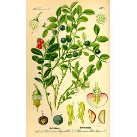 Myrtille, airelle - Vaccinium myrtillus L. - feuille (digestion, gastro-intestinal)