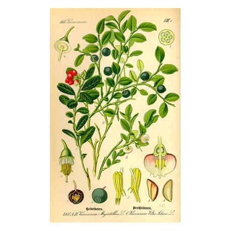 Myrtille - Vaccinium myrtillus L. - feuille (digestion, gastro-intestinal)