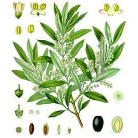 Olivier - Olea europaea L. - feuille (voies urinaires, sucres, respiratoire)