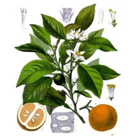 Oranger amer bigaradier - Citrus aurantium L. - feuille (sommeil, gorge, poids, sucres, graisses)
