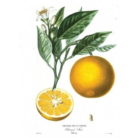 Oranger doux - Citrus sinensis (L.) Osbeck – zeste (micro-circulation, jambes lourdes)