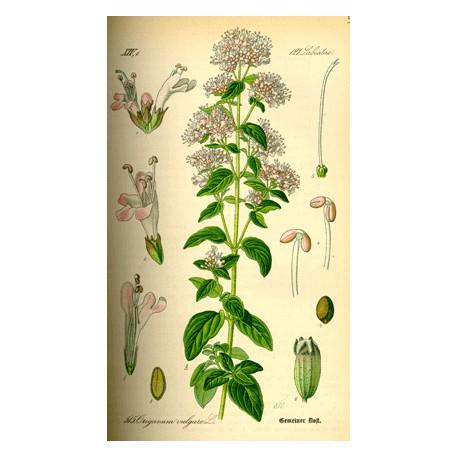 Origan - Origanum vulgare L. - feuille (bile, sommeil, bronches, immunité, allaitement, cardiovasculaire)