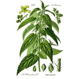 Ortie - Urtica dioica L. - feuille (articulation, rétention d'eau)
