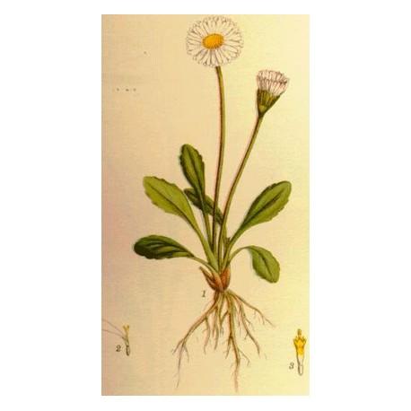 Pâquerette - Bellis perennis – fleur (résistance, radicaux libres)