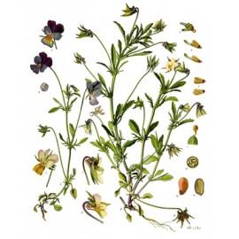 Pensée sauvage - Viola tricolor L. / V. arvensis Murray – fleur (acide urique, transit, peau, respiration)