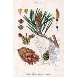 Pin sylvestre - Pinus sylvestris L. - bourgeon de pin (respiration, gorge)