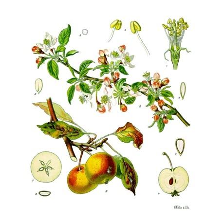 Pomme - Malus domestica Borkh – fruit (digestion, transit)