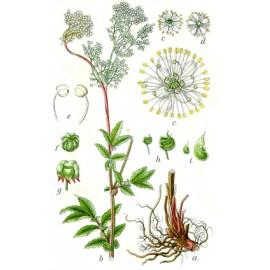 Reine des près - Filipendula ulmaria (L.) Maxim – fleur (articulation, peau, respiration, drainage)