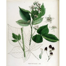 Ronce - Rubus fruticosus L. - feuille (sucres, gorge)