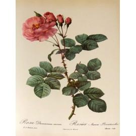 Rose - Rosa x damascena Herrm. - bouton(gorge, yeux, peau, acidité, fertilité, endormissement)