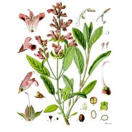 Sauge - Salvia officinalis L. - feuille (gorge, immunité, digestion, transit, estomac, ménopause transpiration)