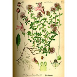 Serpolet - Thymus serpyllum L. - feuille (voies urinaires, digestion, intestin, estomac, gorge)