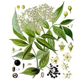 Sureau - Sambucus nigra L. - fleur (glucose, immunité, reins, transpiration)