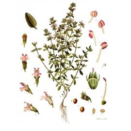 Thym - Thymus vulgaris – feuille (gorge, toux, immunité, digestion)