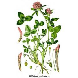 Trèfle rouge - Trifolium pratense L. - fleur (ménopause, os, cardiovasculaire)