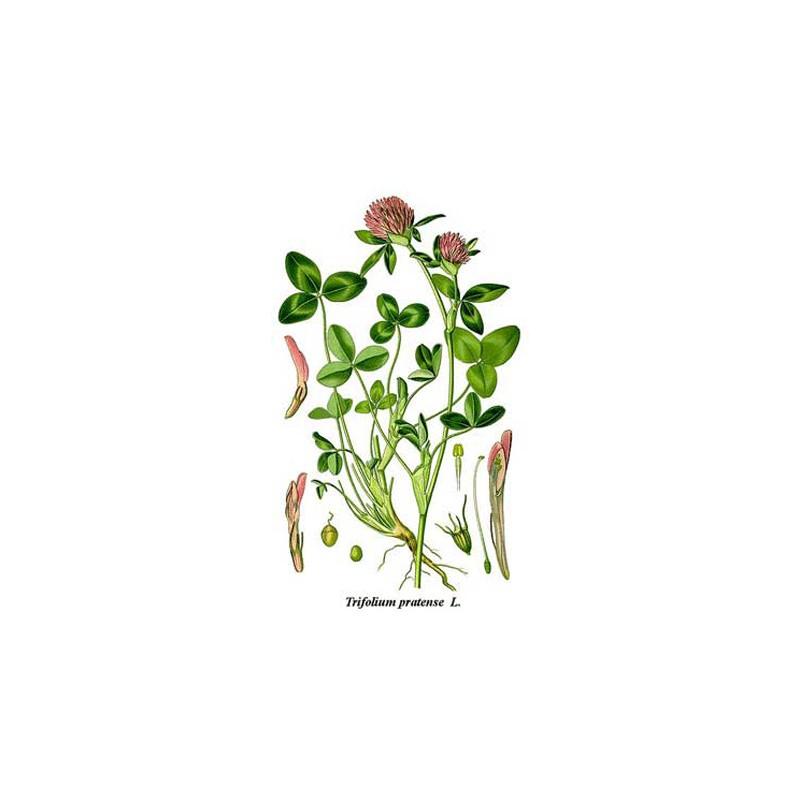 Trefle Rouge Trifolium Pratense L Menopause Os Cardiovasculaire