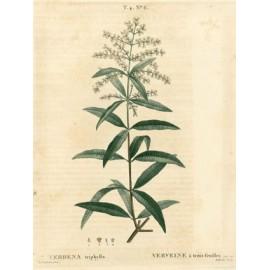 Verveine -Aloysia citriodora – feuille entière (sommeil, nervosité, drainage)