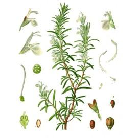 Romarin - Rosmarinus officinalis L. - feuille (drainage, foie, bile, immunité, transit, cholestérol)