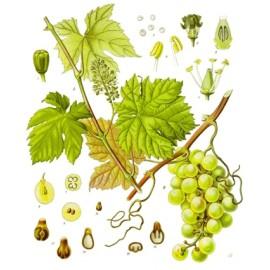 Vigne - Vitis vinifera L. - feuille coupée (pression artérielle, poids, circulation, jambes lourdes)
