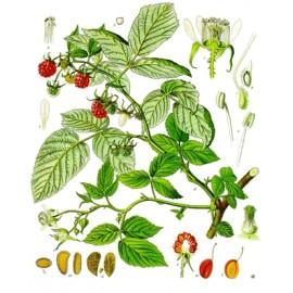Framboisier - Rubus idaeus - feuille coupée (tisane des femmes, élimination, digestion)