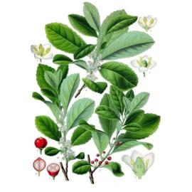 Maté - Ilex paraguariensis – feuille (tonus, poids, drainage)