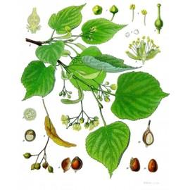 Tilleul - Tilia cordata – bractée (fleur) (digestion, foie, gorge, anxiété, sommeil, immunité, expectoration)