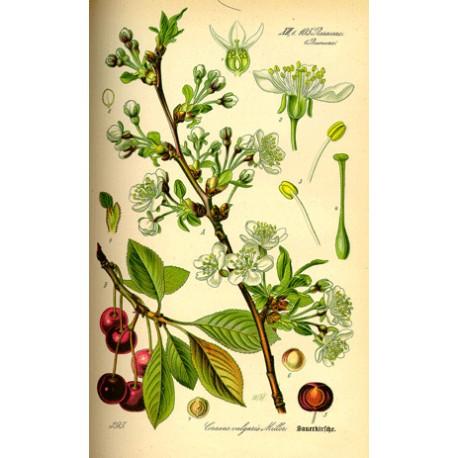 Queue de cerise - Prunus cerasus - queue (Élimination, voies urinaires)