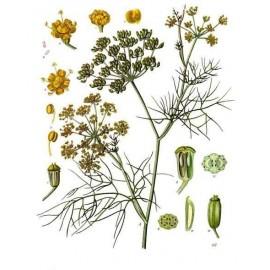 Fenouil doux - foeniculum vulg - semences (ballonnements, allaitement, élimination urinaire)