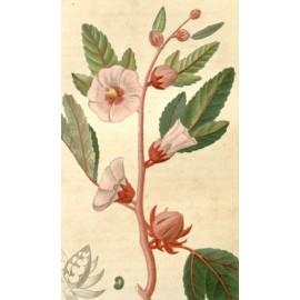 Hibiscus - Hibiscus sabdariffa - Fleur (drainage, fatigue, transit, circulation)