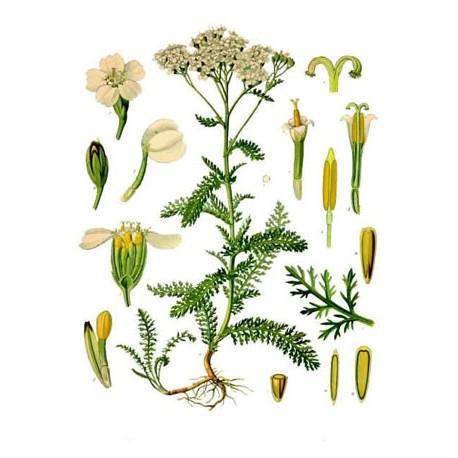 Achillée millefeuille - Achillea millefoliumL. - plante coupée (cholestérol, digestion, gorge, reins)