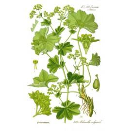 Alchémille commune - Alchemilla vulgaris - plante coupée (hormones, articulation, circulation, gorge)