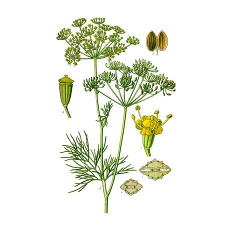 Aneth - Anethum graveolens - semence (allaitement, sommeil, digestion, voies urinaires)