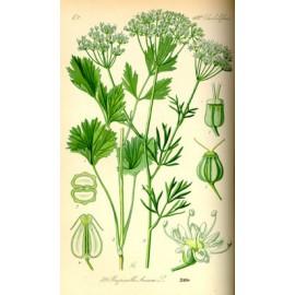 Anis vert- Pimpinella anisum - graine (flatulences, gorge, bronches, allaitement)