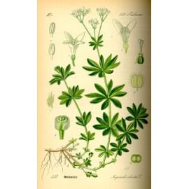 Aspérule odoranteouGaillet odorant- Galium odoratum- feuille (digestion, endormissement, irritabilité)
