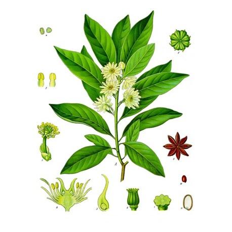 Badiane Ou Anis Etoile Illicium Verum Fruit Respiration