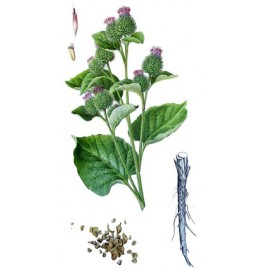 Bardane - Arctium lappa - racine (peau, articulations, drainage, sucre)