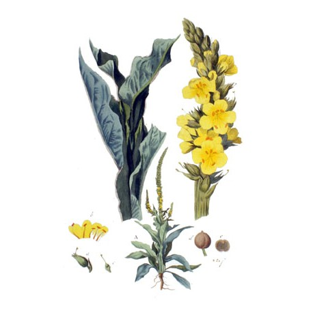 Bouillon blanc ou molène - Verbascum Thapsus - fleur (rein et vessie, gorge, immunité)