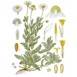 Camomilleromaine ou noble - Chamaemelumnobile- fleur (digestion)