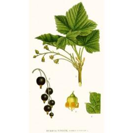 Cassis - Ribes nigrum - feuille (circulation, articulation, perte de poids, immunité)