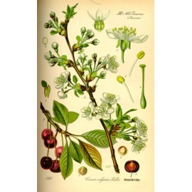 Cerisier ou queue de cerise - prunus cerasus - pédoncule (élimination, voies urinaires)