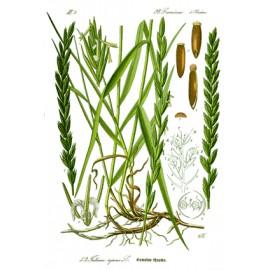 Chiendent officinal - Agropyron repens - rhizome (élimination, contrôle du poids)