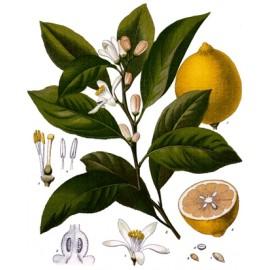 Citronoucitronnier- Citruslimonum - zest écorce du fruit (digestion)