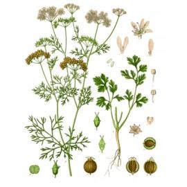 Coriandre - Coriandrum sativum - fruit (gaz, digestion, immunité, cholestérol, fonction urinaire, nerveuse)